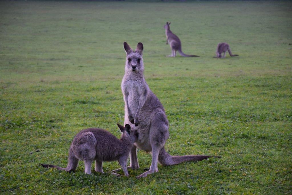 Wombeyan Caves Karst Reserve kangaroos