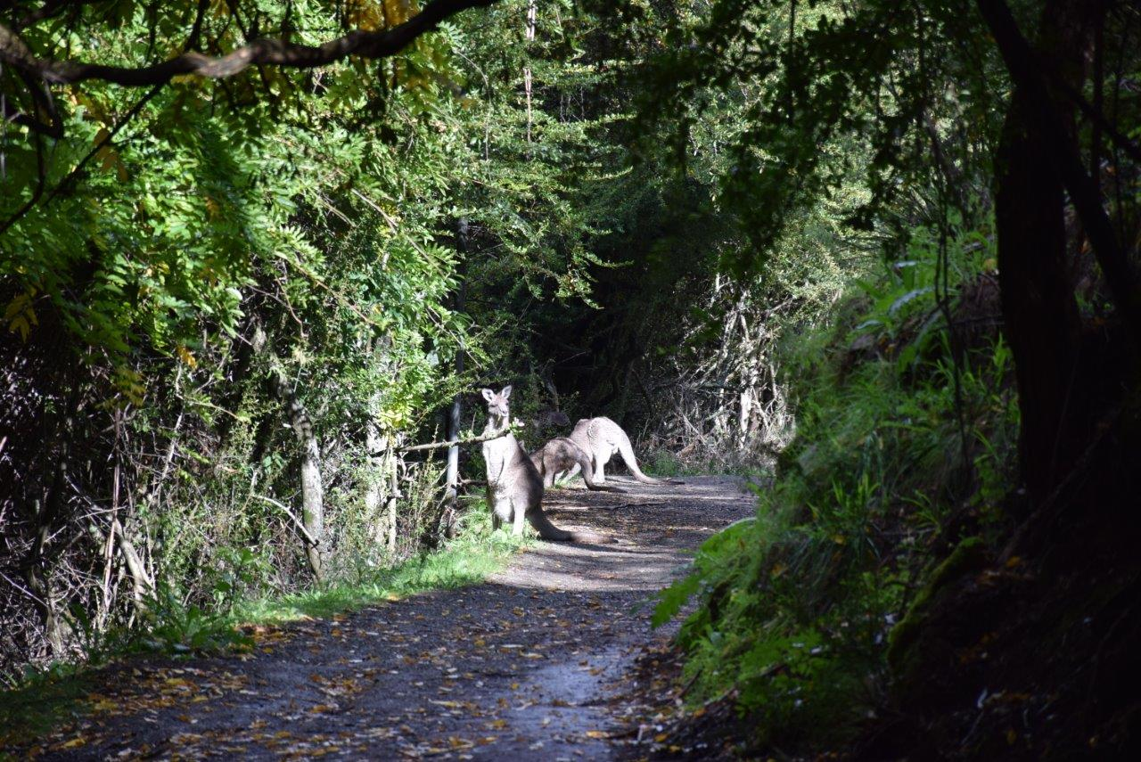 Kangaroos are everywhere - here are some on the path up to the caves!