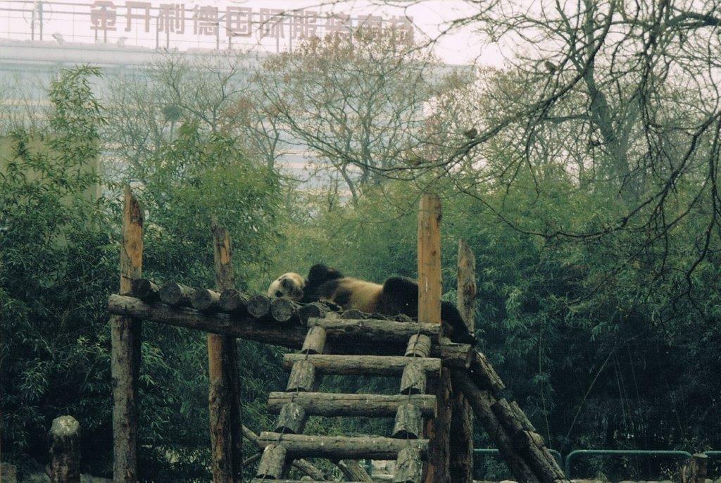 Beijing Zoo Pandas hanging out