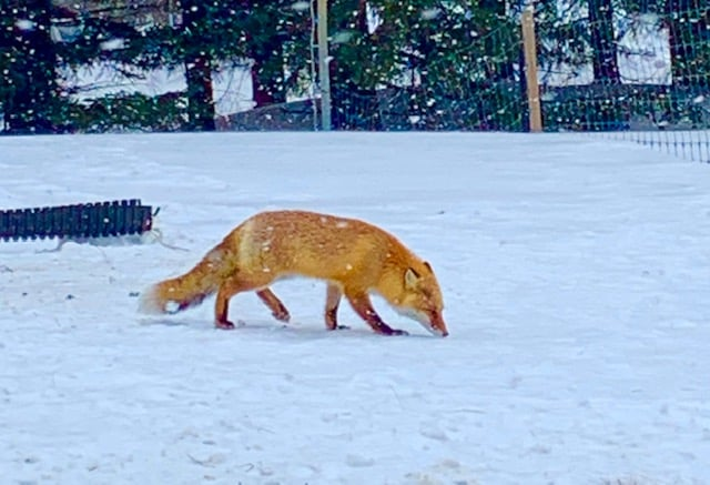 We watched this red fox in the wild for about ten minutes