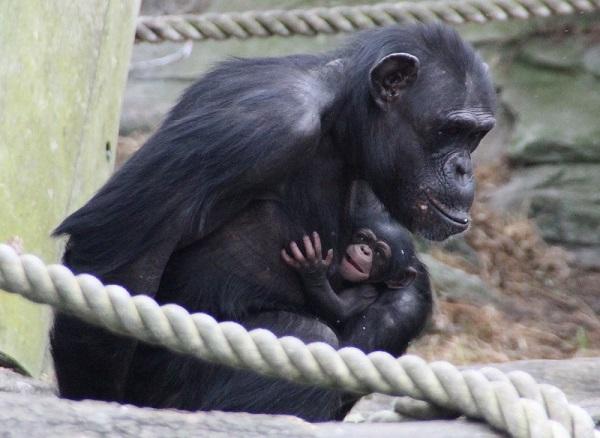 Taronga chimp