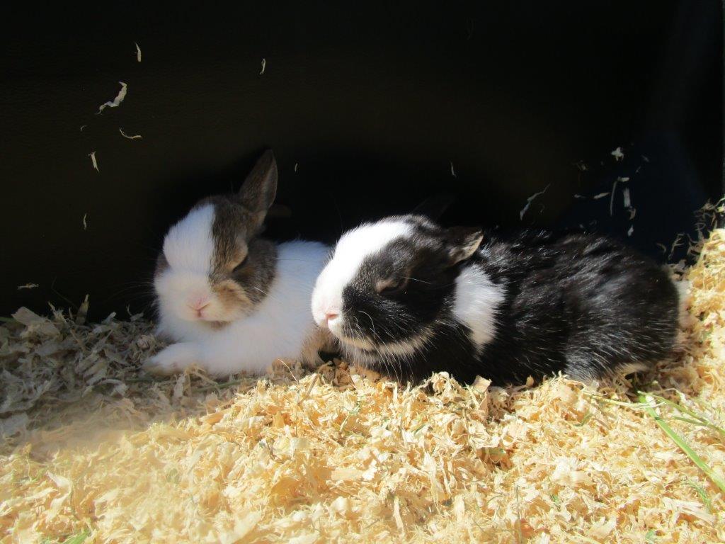 Matilda's Farmyard Nursery inhabitants - baby rabbits!