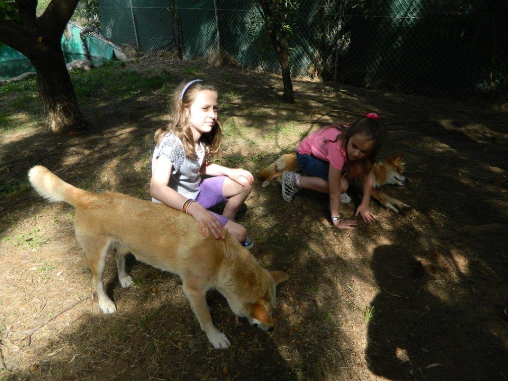 In the dingo's enclosure - they're just like big dogs