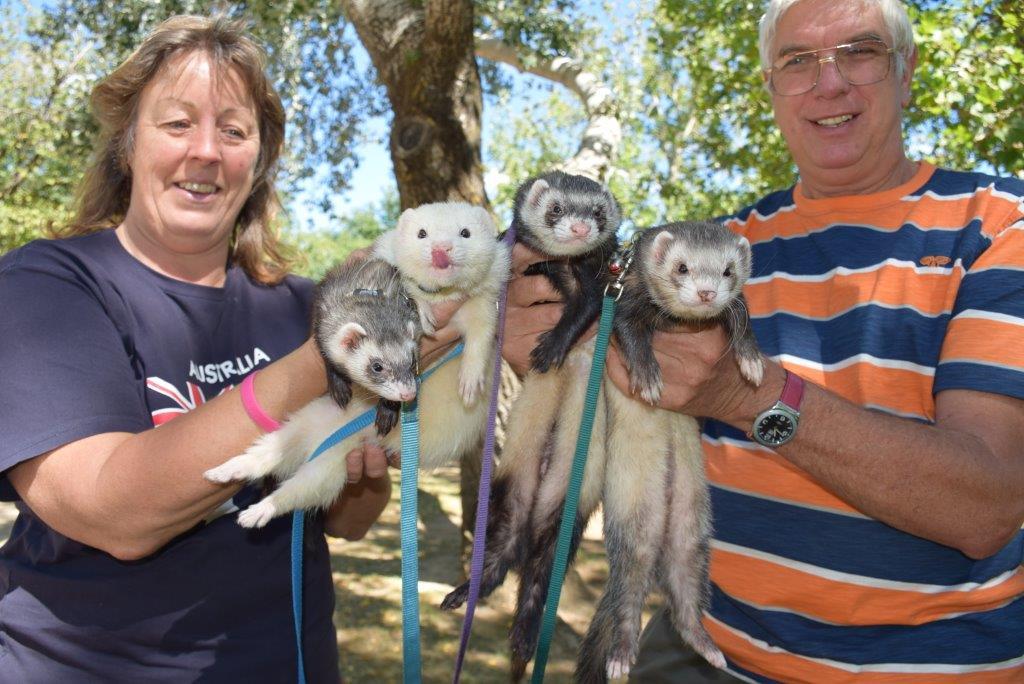 Way too cute for their own good - a random ferret encounter in a Wangaratta park!