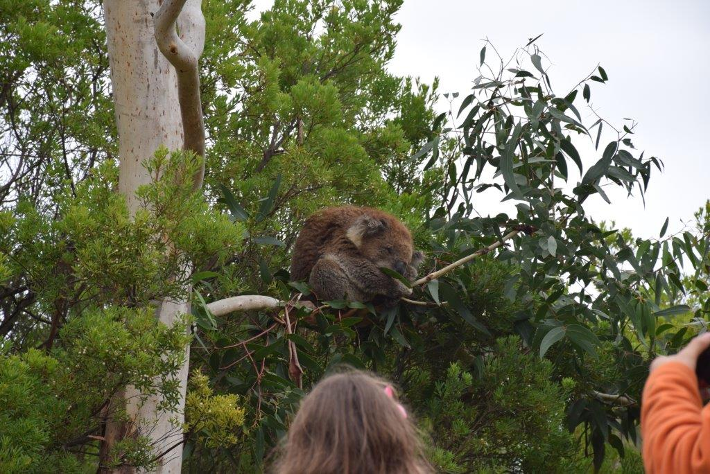 The koalas of Cape Otway don't even raise an eyebrow at all the tourists!