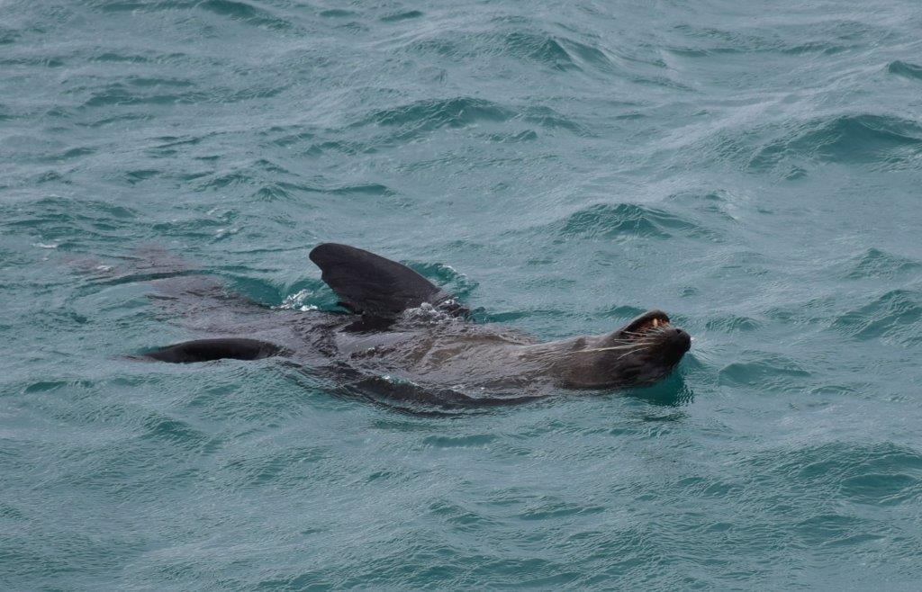 This friendly seal at the end of Lorne pier had us entranced!