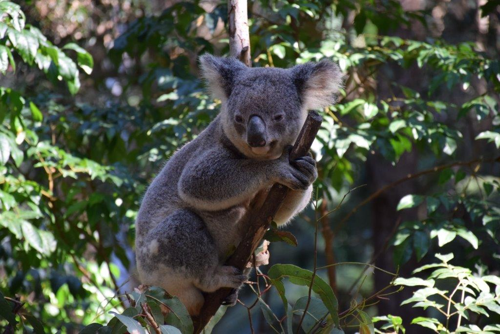 Koala's are everywhere at Currumbin Wildlife Sanctuary - and you can even hold one!
