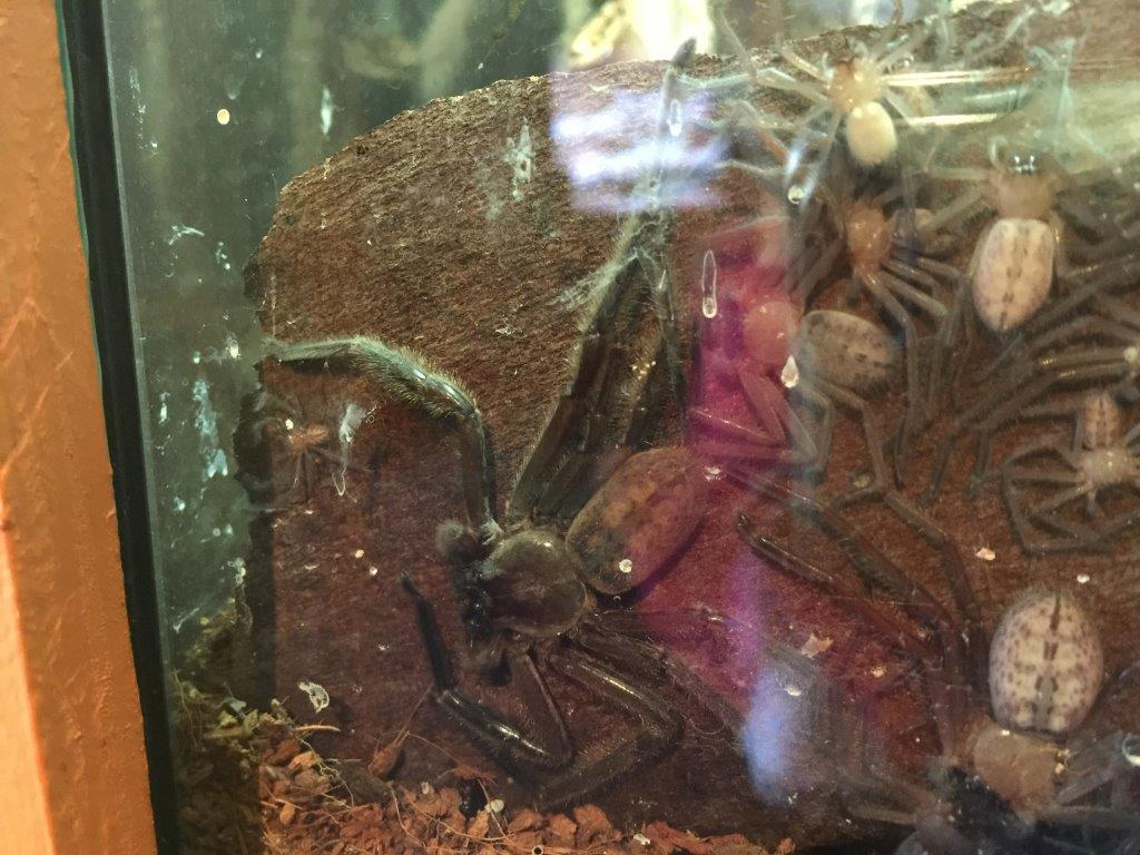 Hello little fella.....a Huntsman Spider hides behind the glass - in full view!