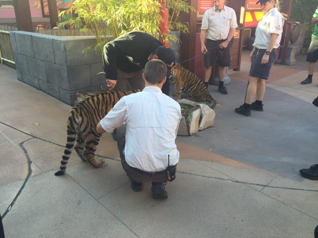 What's better than coming across a real tiger cub? Coming across two of them! Photo source: Letsgomumreviews.com.au
