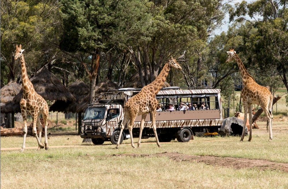 The exciting new Savannah Safari tour is now open! Photo source - Western Plains Zoo