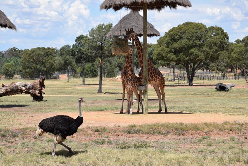 The amazing Zoofari Lodge African Savannah view