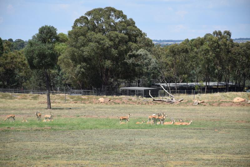 Zoofari Lodge view - Antelope scattered across the savannah