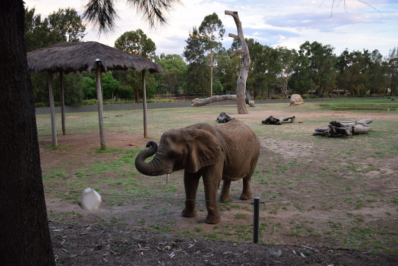 Cuddles the elephant thought it was hilarious to throw her treats container back at us!