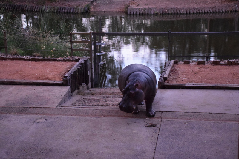 Watching the Hippos emerge from their lagoon was something special