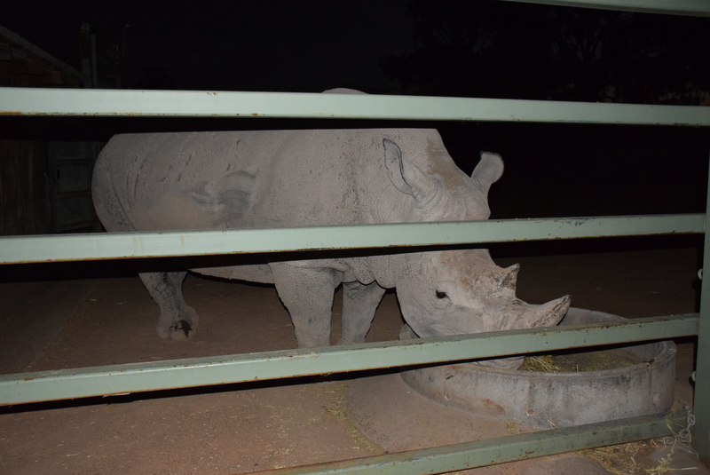 This white rhino was fed right in front of us