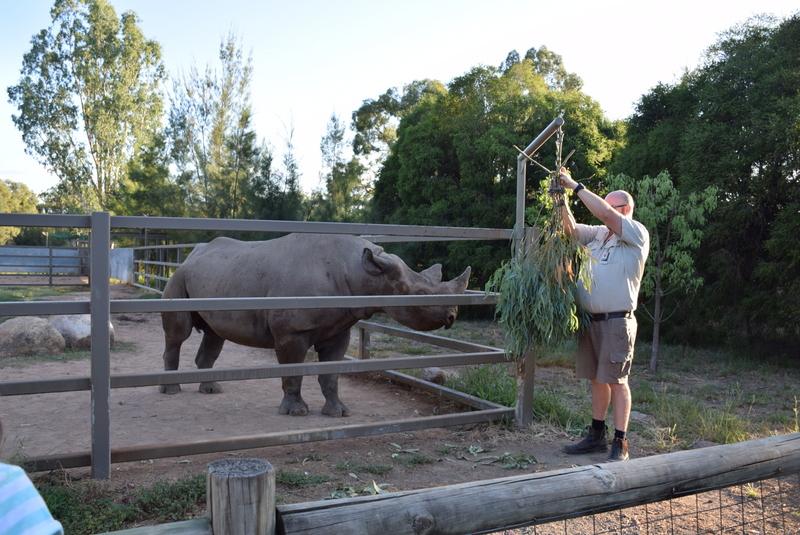 Grubs up! A black rhino being fed breakfast