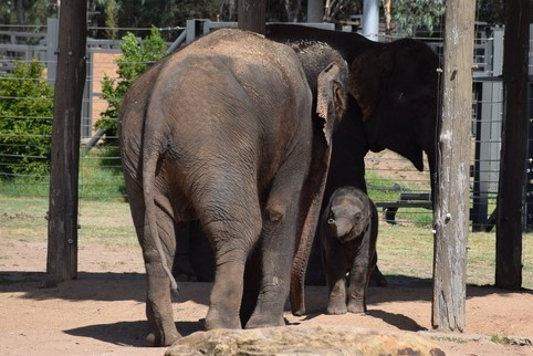 Sabai the new baby elephant is absolutely adorable!
