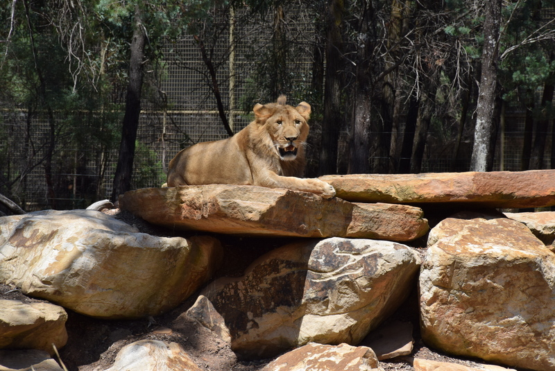 The lions at Taronga Western Plains Zoo in Dubbo