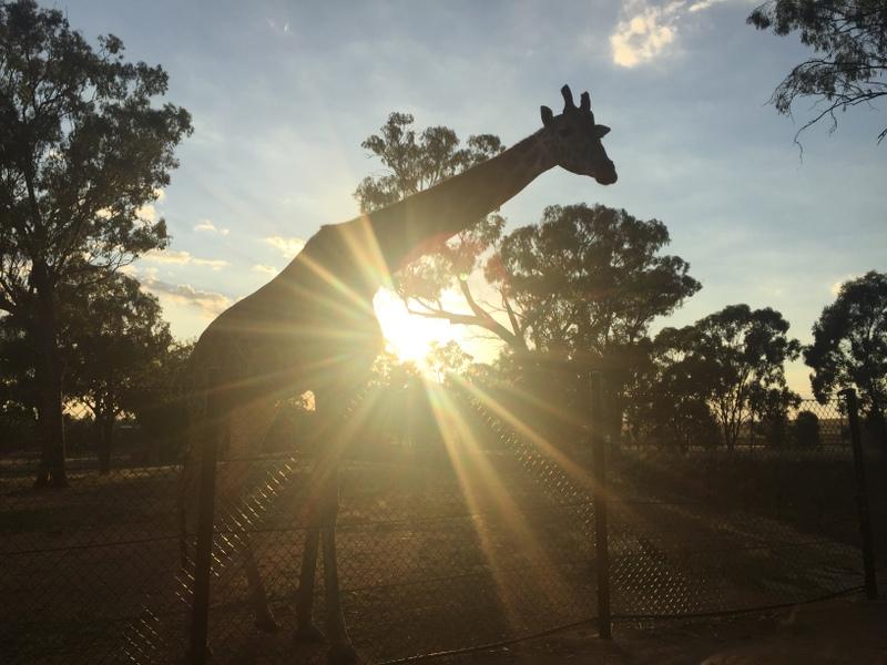Meeting the Zoofari Lodge giraffes at sunrise was an incredible experience