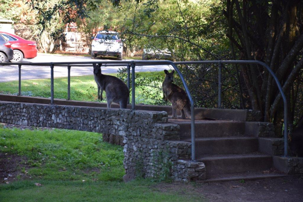 Kangaroos on the footbridge near the Wombeyan Caves Visitors Information Centre