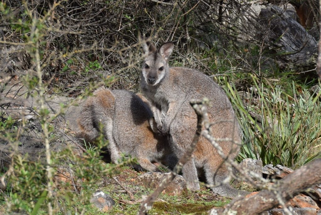 A pair of Red Necked Wallabies