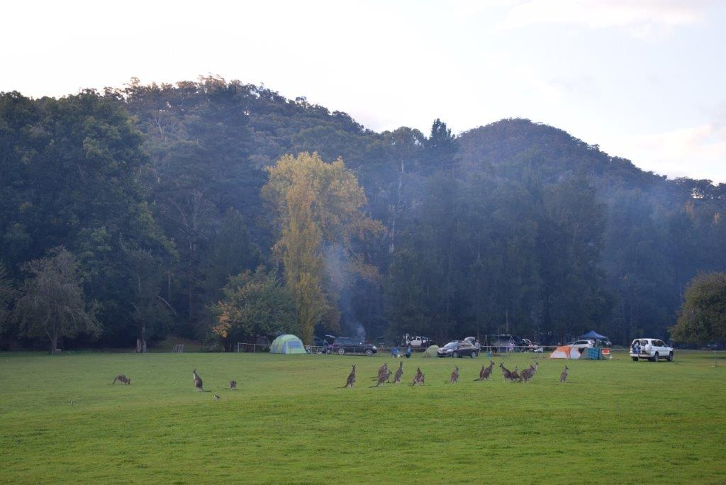 The Wombeyan Caves campground comes complete with resident kangaroos!