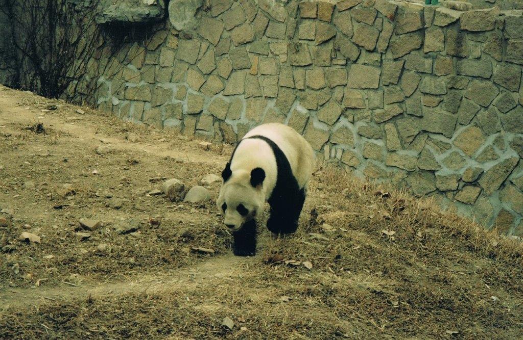 Beijing Zoo Pandas