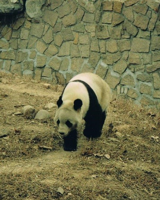 Beijing Zoo Pandas - a comical flying visit to see the famous China Panda Bears