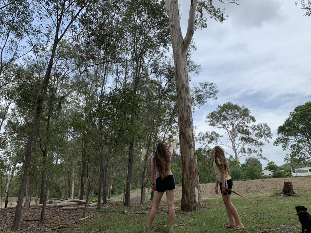Koala spotting at Gold Coast BIG4 Holiday Park