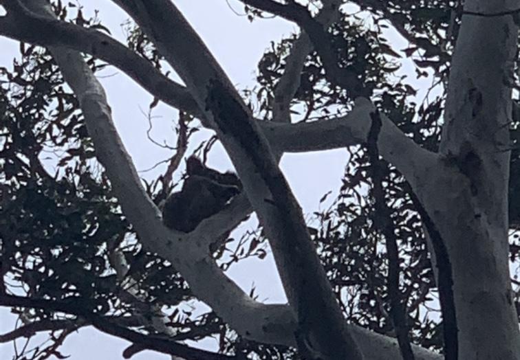 Koala at Gold Coast BIG4