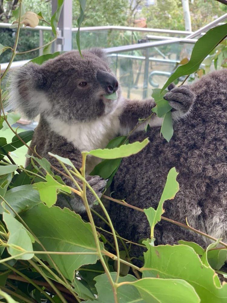 Sydney WILD LIFE Zoo baby koala