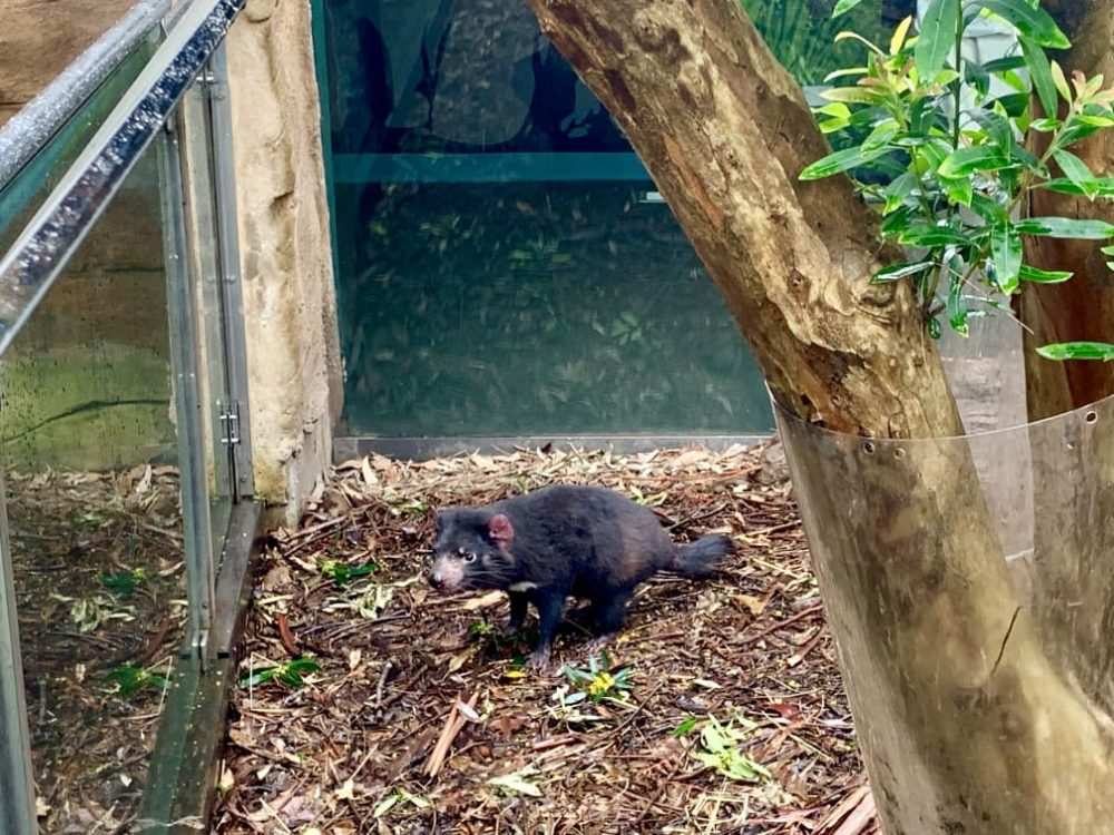 Tasmanian Devils are at WILD LIFE Sydney Zoo