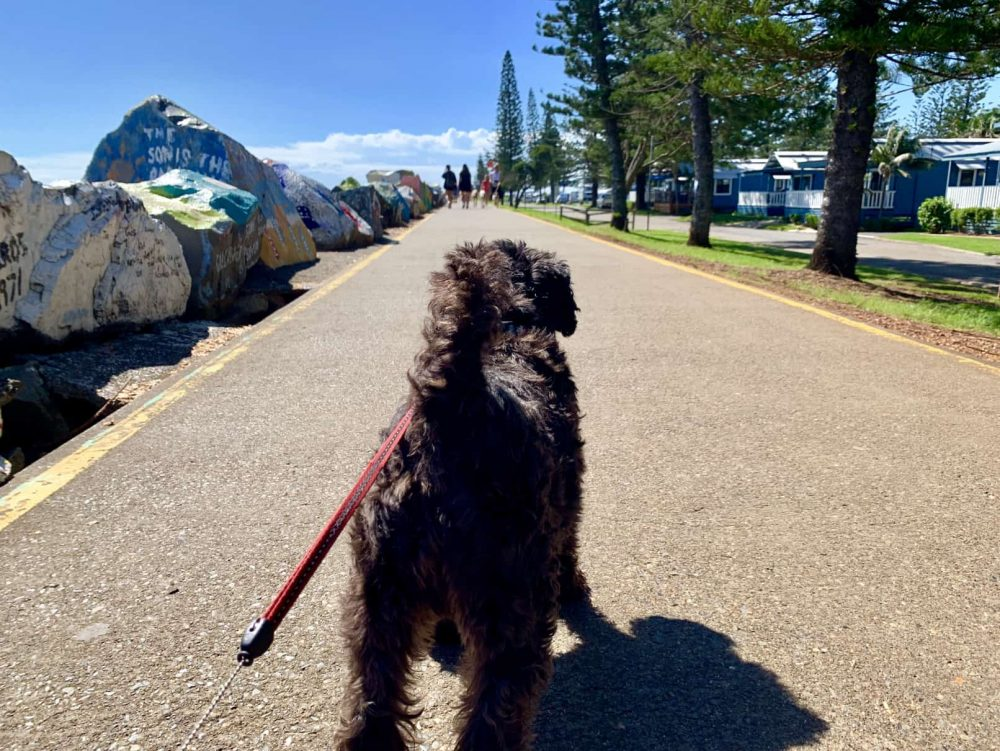 Sweetums the dog takes a stroll along the Port Macquarie Breakwall