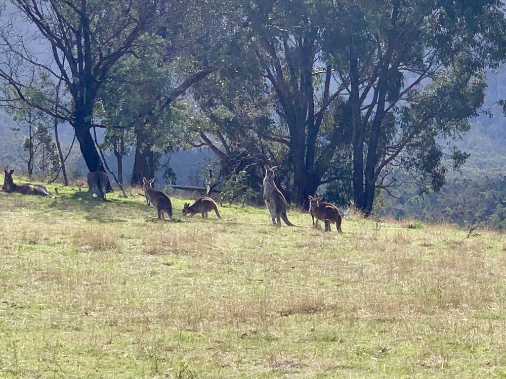 Tidbinbilla Nature Reserve Canberra - Kangaroo picnic grounds